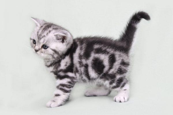 Как получить мраморных котят