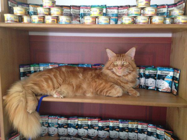 Чем кормить мейн куна котенка: рекомендации