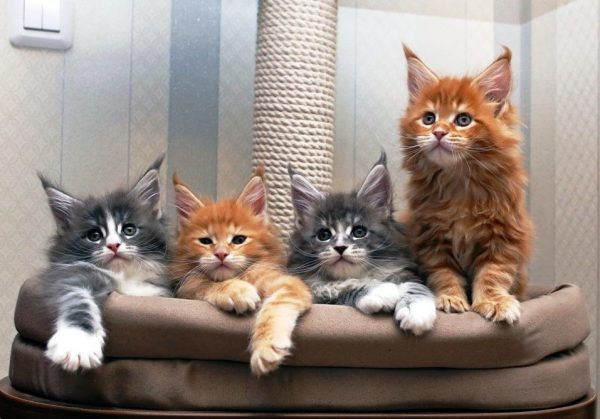Питание мейн кунов котят: первый прикорм
