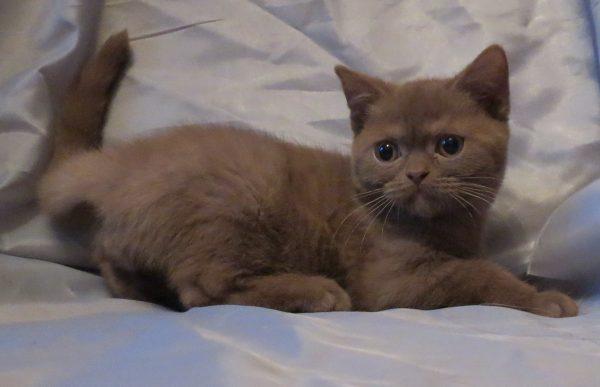 Сухой корм для британских котят