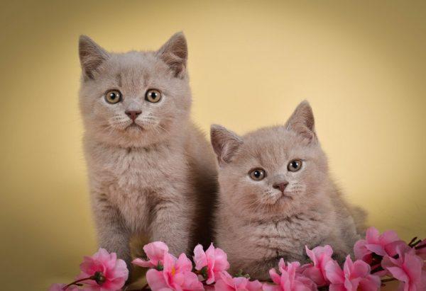 Распространенные болезни у британских котят