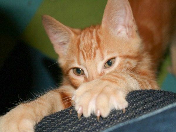 С какого возраста можно стричь когти котенку: зачем нужно, как часто, описание процедуры