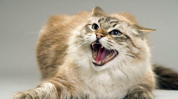 Когда нужно дать кошке обезболивающее