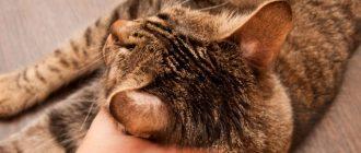 Кошка чешет уши: возможные причины и что нужно делать