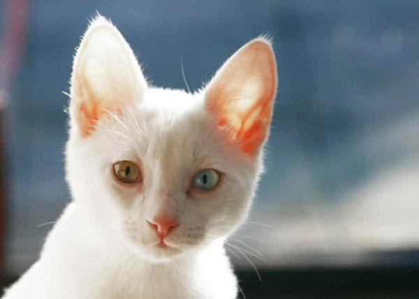 Энтерит у кошек симптомы и лечение в домашних условиях, профилактика, передается ли человеку