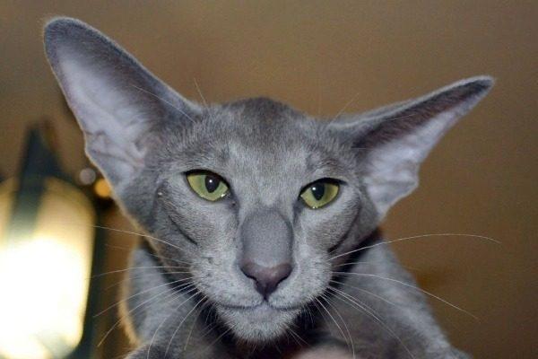 Особенности кошек с большими ушами