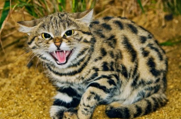 Самые опасные кошки в мире: характеристики