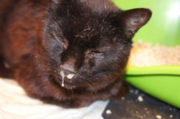 Симптомы герпеса у кошек и котов