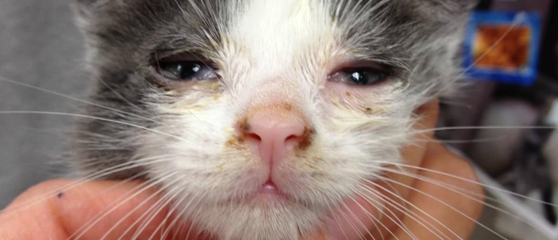 Что делать если у кошки герпес
