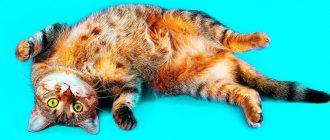 Как долго лечится цистит у котов