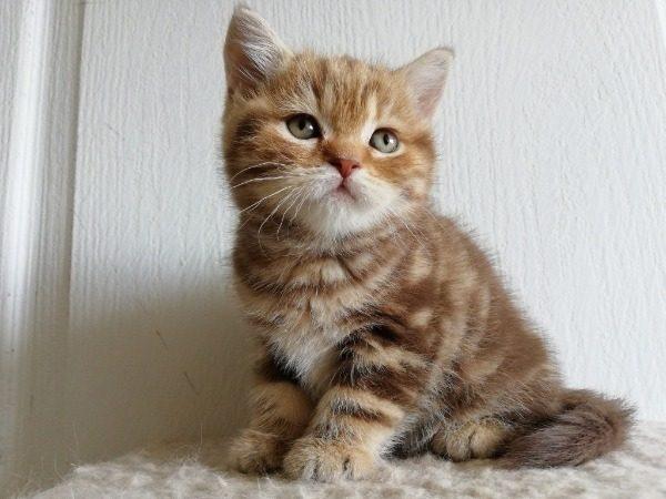 Характер и особенности котов британской породы