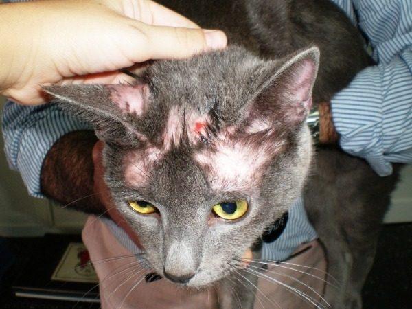 У кота выпадает шерсть клоками и болячки на коже: причины и лечение
