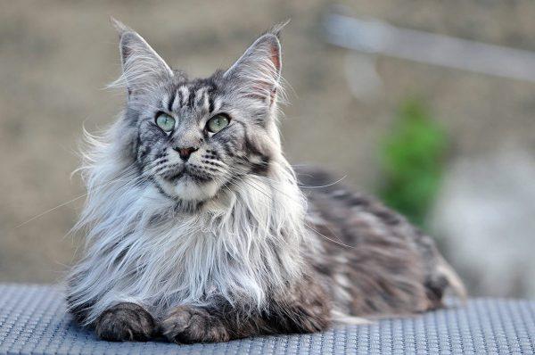 Сколько должен весить кот в зависимости от возраста и породы: таблица