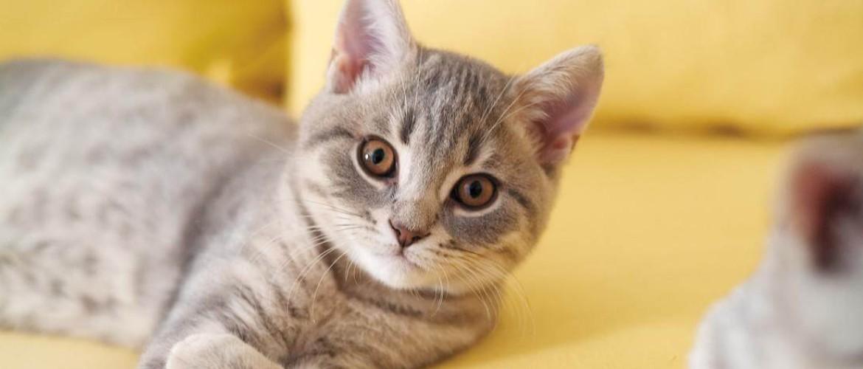 Через сколько дней после течки кошке можно делать стерилизацию thumbnail