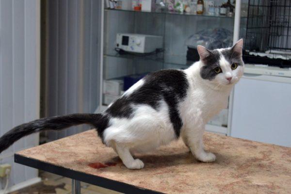 Основные причины появления крови в моче у кошки