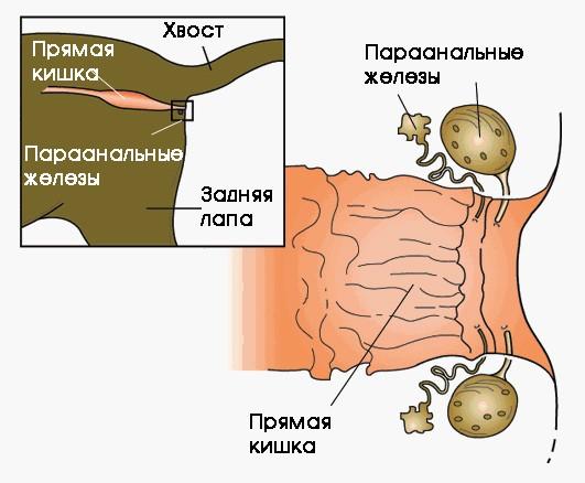 Что такое параанальные железы у кошек