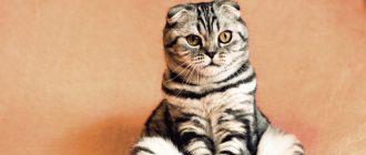 Лечение асцита у кошки определяем симптомы диагностируем профилактика болезни