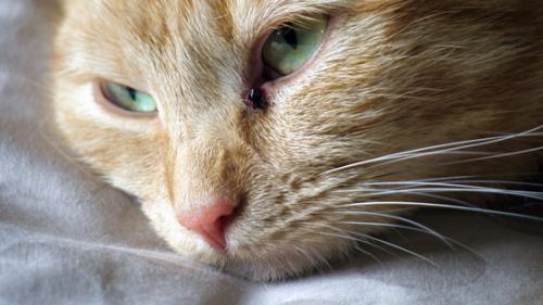 У кошки не дышит нос: что делать, лечение