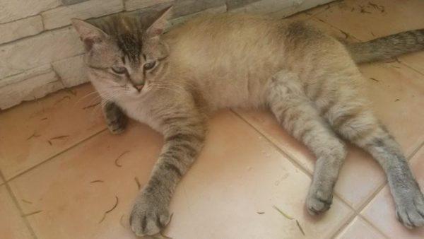 У кота распухла лапа, не может наступать: что делать