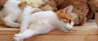 Как взять кровь у кошки