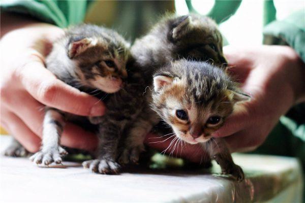двухнедельные котята
