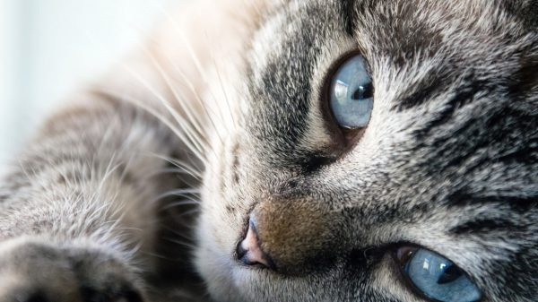 Когда необходимы антигистаминные препараты котам и кошкам