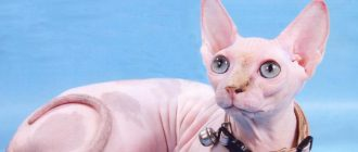Кошка после родов беспокойная мяукает: кровяные выделения на второй день, что делать || Почему кошка мяукает после родов