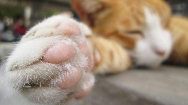 Инфекционные причины хромоты у котов