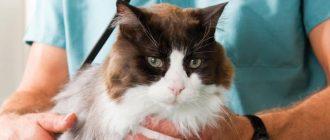 Кот писает кровью: причины, первая помощь, лечение