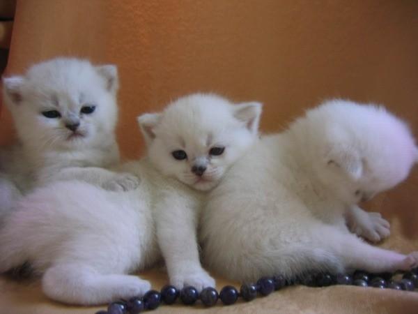 Особенности первой вязки британцев - кота и кошки