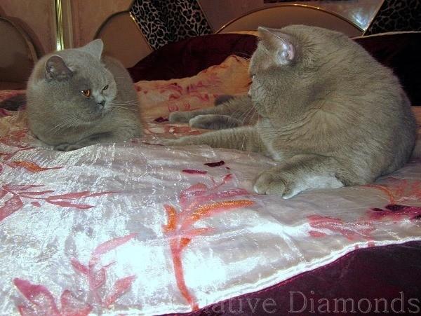 Вязка британской кошки с котом