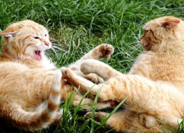Почему кошка во время течки не подпускает к себе кота: причины