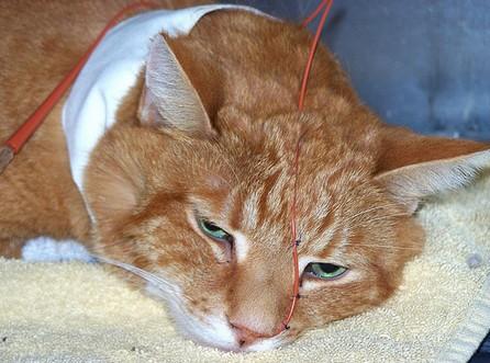 Отек легких у кошек: симптомы