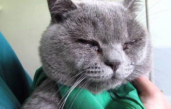 Лечение выделений из глаз у кошек