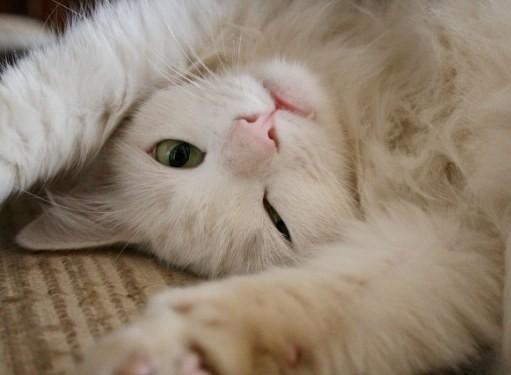 Может ли кошка после стерилизации просить кота?