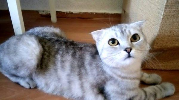 Стерилизованная кошка просит кота: 4 причины