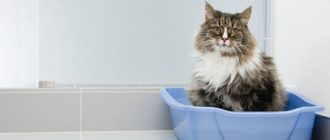 Почему кошку рвет после еды непереваренной пищей и что делать?