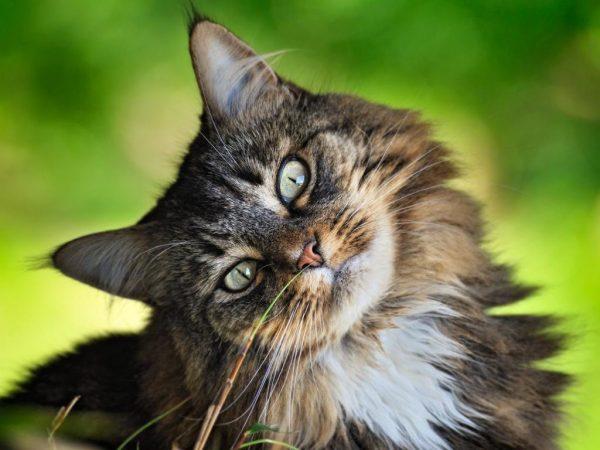 Кошка метит во время течки: что делать