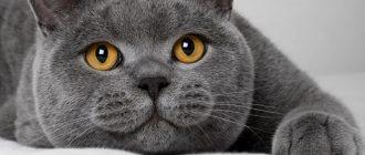 Сколько дней кошка просит кота