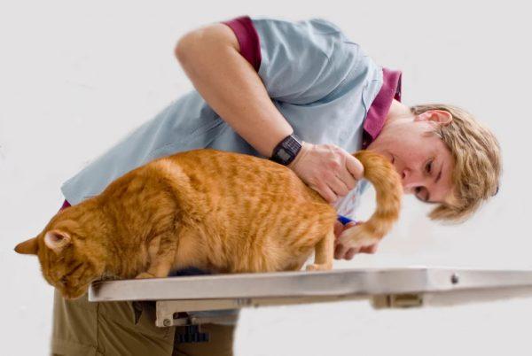 геморрой у кошек