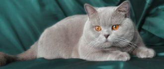 Как ведет себя кошка после вязки возможные проблемы