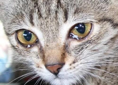 Почему у кошки текут глаза: причины