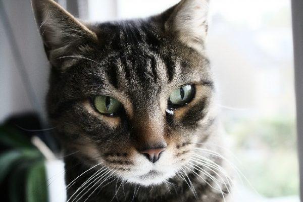 Когда слезотечение у кошки является нормой?