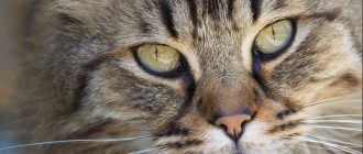 Сопли у кота и кошки: причины и как лечить насморк у котенка и взрослого животного в домашних условиях