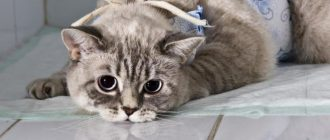 Стерилизация кошки- уход за швом послеоперационная реабилитация
