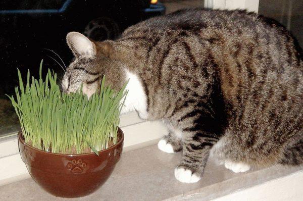Народные средства, как вывести шерсть у кошки из желудка
