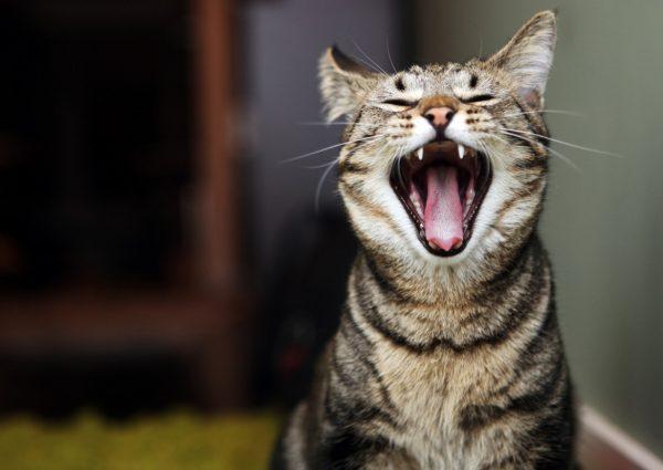 Почему кот ходит по дому и мяукает без причины?