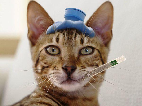 Норма температуры у кота