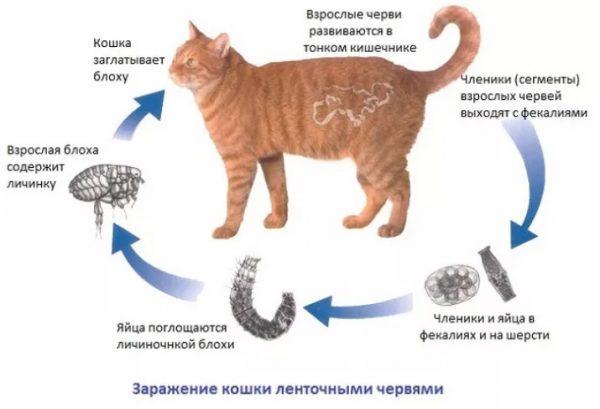 Заражение кошки ленточными червями