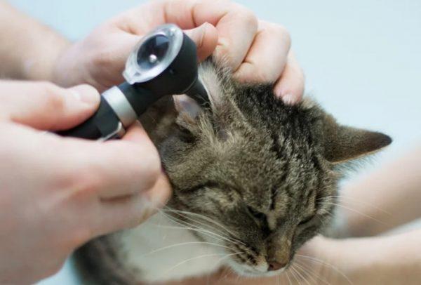 У кота болит ухо: причины, как понять, симптомы, первая помощь, что делать в домашних условиях